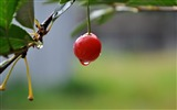 Title:cherry drop berry summer tasty-Plant Macro HD wallpaper Views:3292