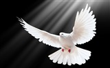 Title:dove scale wings light-Bird Photography HD wallpaper Views:10708
