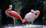 Title:flamingos birds water drops-Animal photo desktop wallpaper Views:4025
