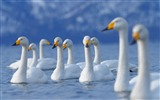 Title:flock of swans-Animal Photography wallpaper Views:3152