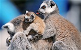 Title:funny lemurs-Animal Photography wallpaper Views:3378