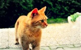 Title:ginger cat-Animal Photography wallpaper Views:2943
