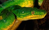 Title:green snake-Animal Photography wallpapers Views:2449