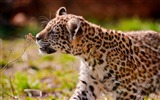 Title:jaguar cub eyes grass walk-Animal photo desktop wallpaper Views:4320