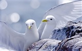 Title:kittiwakes-Animal Photography wallpapers Views:3292