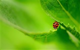 Title:ladybug on a green leaf-Animal Photography wallpapers Views:2905
