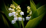 Title:lily of the valley-Summer beautiful flowers wallpaper Views:5362