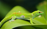 Title:lizard gecko leaf-Animal photo desktop wallpaper Views:3343
