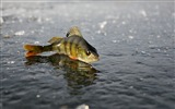 Title:perch ice fishing winter-Animal photo desktop wallpaper Views:9629