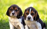 Title:puppies couple grass-Animal photo desktop wallpaper Views:3107