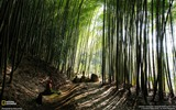 Title:Bamboo Forest Japan-National Geographic wallpaper Views:7032