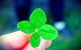 Title:a four leaf clover-Macro photography HD Wallpaper Views:6366