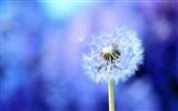 Title:dandelion on purple-Macro photography HD Wallpaper Views:3923