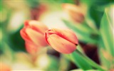 Title:early tulips-HIGH Quality Wallpaper Views:3196