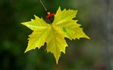 Title:maple leaf fall-Macro photography HD Wallpaper Views:3961