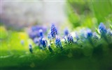 Title:muscari flowers-HIGH Quality Wallpaper Views:7187