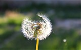 Title:white dandelion-Macro photography HD Wallpaper Views:3841