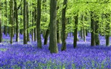 Title:Bluebells and beech trees-Windows theme HD wallpaper Views:5129