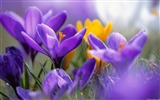Title:Saffron-Windows theme HD wallpaper Views:3431