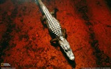 Title:Alligator Okefenokee Swamp-National Geographic Wallpaper Views:2803