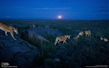 Title:Lions Serengeti-National Geographic Wallpaper Views:2646