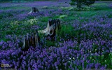 Title:Penstemons Tahoe National Forest-National Geographic Wallpaper Views:2469