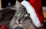 Title:cat face hat new year-Animal Photo Wallpaper Views:3310