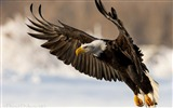 Title:eagle bird wings flap-Animal Photo Wallpaper Views:4069