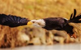 Title:eagle fly flap wings-Animal Photo Wallpaper Views:2975