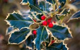 Title:holly leaves berries red nature-HIGH Quality Wallpaper Views:1984