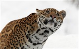 Title:leopard muzzle eyes snow-Animal Photo Wallpaper Views:3200