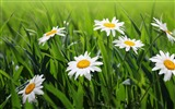 Title:daisies flowers grass green-Plants Photo Wallpaper Views:2878