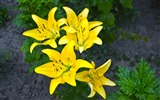 Title:lilies yellow flower-Plants Photo Wallpaper Views:2839