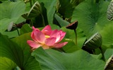 Title:lily flower leaves petals-Plants Photo Wallpaper Views:2360