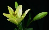 Title:lily plant flower bud-Plants Photo Wallpaper Views:2388