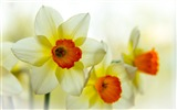Title:narcissus flower petals-Plants Photo Wallpaper Views:2260