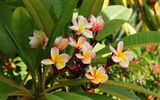 Title:plumeria flowering leaves-Plants Photo Wallpaper Views:2042
