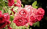 Title:roses flowers bush close-up-Plants Photo Wallpaper Views:1913