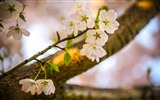 Title:cherry blossoms bloom-Seasons HD Wallpaper Views:2840