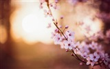 Title:cherry flowers spring-High quality wallpaper Views:2254