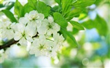 Title:pear tree flowers-Seasons HD Wallpaper Views:3412