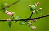 Title:spring buds macro-Seasons HD Wallpaper Views:2869