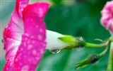 Title:Morning Glory Flower Photography wallpaper 03 Views:2105