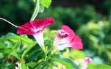 Title:Morning Glory Flower Photography wallpaper 05 Views:1877