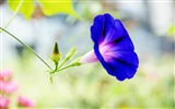 Title:Morning Glory Flower Photography wallpaper 08 Views:2287