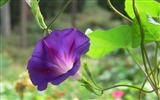 Title:Morning Glory Flower Photography wallpaper 11 Views:1738