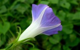 Title:Morning Glory Flower Photography wallpaper 12 Views:2182