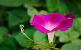 Title:Morning Glory Flower Photography wallpaper 15 Views:2030