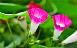 Title:Morning Glory Flower Photography wallpaper Views:6804