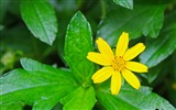Title:green leaves yellow flowers-Plants Photo Wallpaper Views:4090